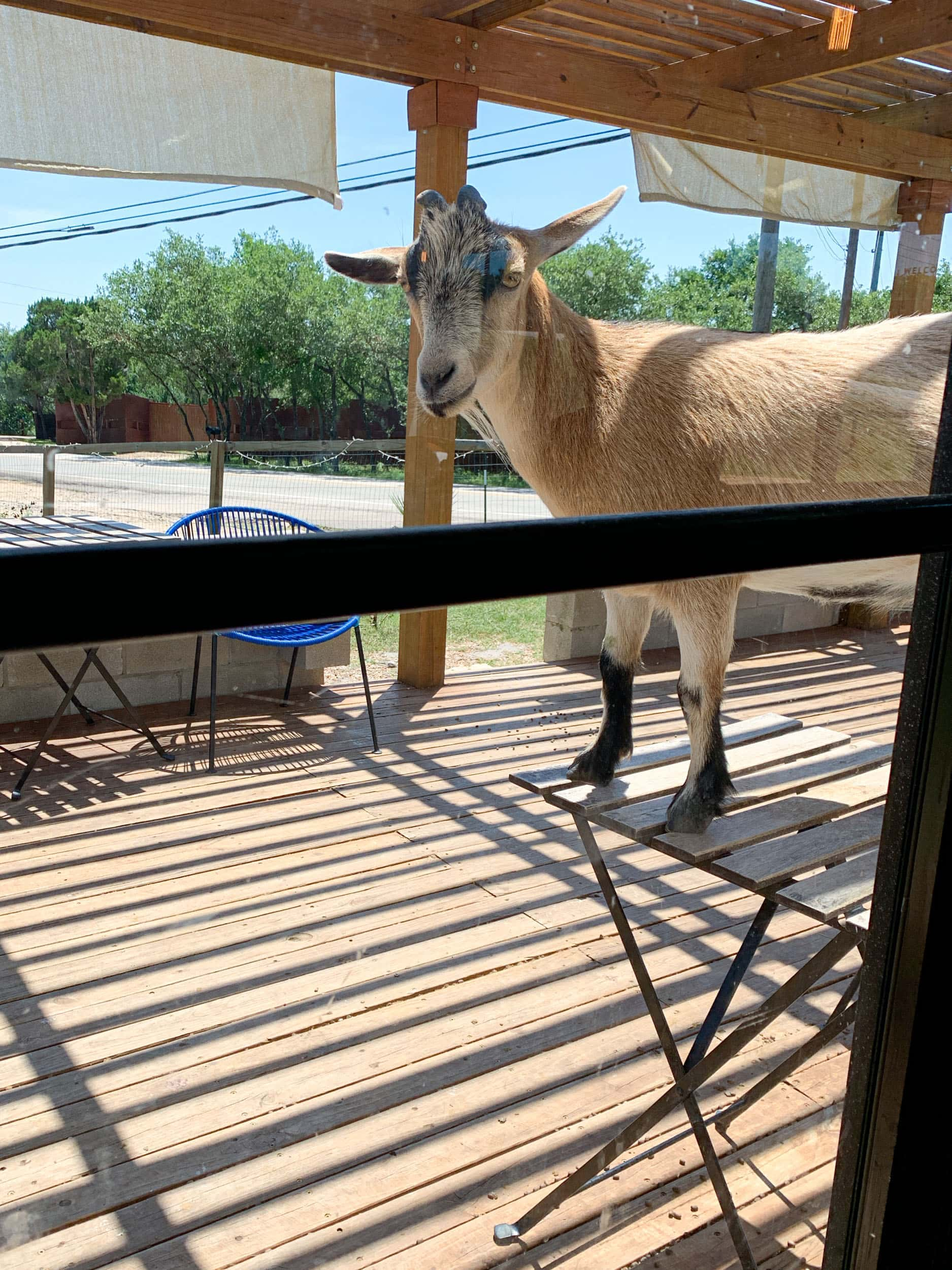 Butters the goat draws visitors from across Austin